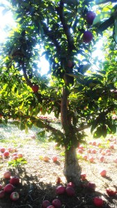 Apples in September