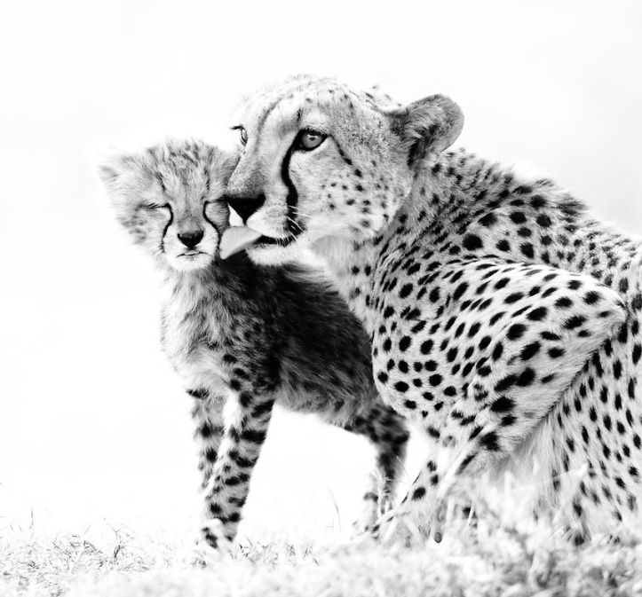 CHEETAH CUB AND MOTHER