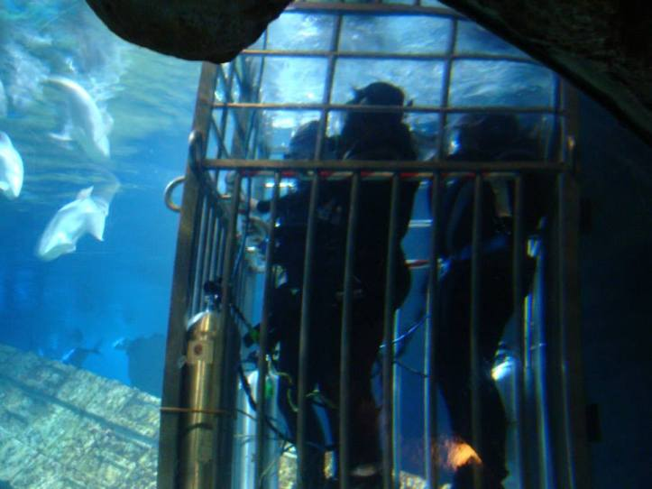 Shark_Dive